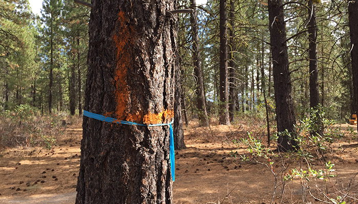 Why is there paint on trees within the Deschutes Forest?
