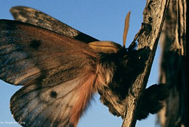 Pandora Moth Returns on the Wing to Central Oregon